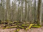 Szef Lasów Państwowych: Są przesłanki, by Trybunał wycofał się z zakazu wycinki w Puszczy Białowieskiej