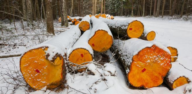 Wycięte drewno w Puszczy Białowieskiej. Trybunał Sprawiedliwości