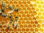 Pszczelarz odpowiada za szkody wyrządzone przez jego owady