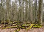 Wiceminister środowiska: Nie ma podstaw do wpisania Puszczy Białowieskiej na listę światowego dziedzictwa w zagrożeniu