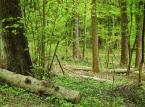 Lasy Państwowe póki co nie ścinają zinwentaryzowanych i oznaczonych drzew. Na zdjęciu możemy dostrzec jednak, że wokół nich trwa normalnie gospodarowanie zasobami leśnymi i pozyskiwanie drewna. Sytuacja ta powoduje, że obszar z dnia na dzień traci swój puszczański charakter.  <br><br> fot. Maciek Suchorabski