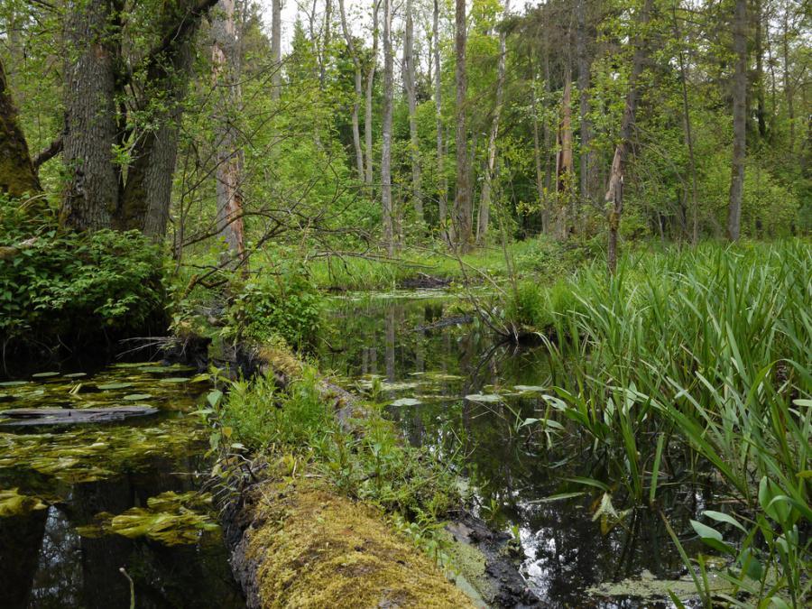 Białowieski Park Narodowy, został wpisany na światową listę dziedzictwa naturalnego w 1992 roku, jako przykład najlepiej zachowanej puszczy w naszej części Europy. Fot.flickr/Frank.Vassen